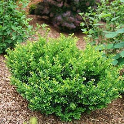 """Stonehenge Dark Druid- Yew - Taxus x Media - 4"""" Pot - Proven Winners : Garden & Outdoor"""