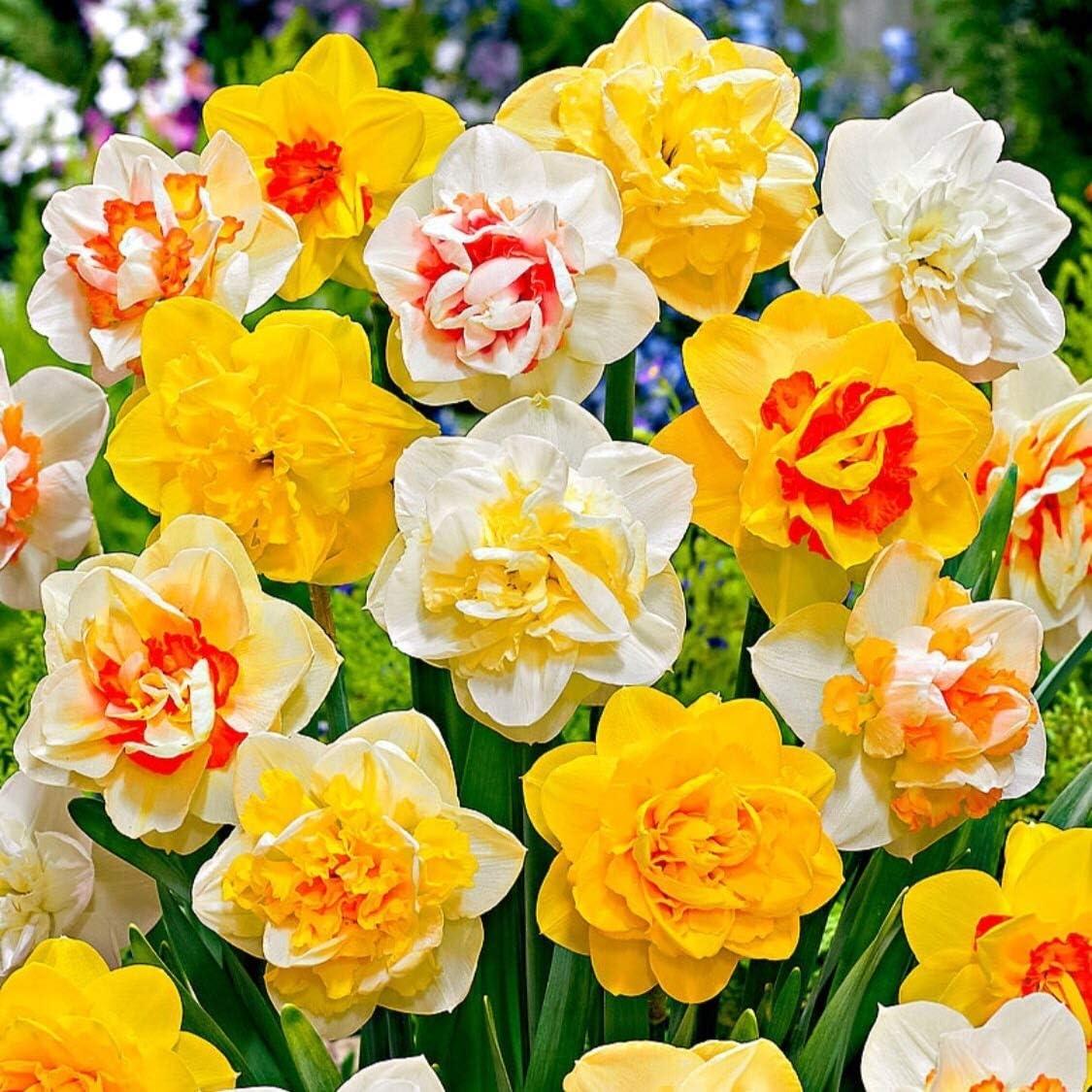 30 x Mixed Tulips FREE UK POSTAGE Bulbs