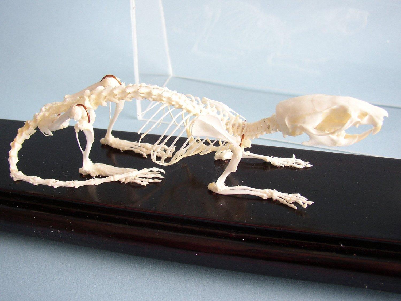 C & A Scientific - Premiere 51012 Real Rat Skeleton 760190061488