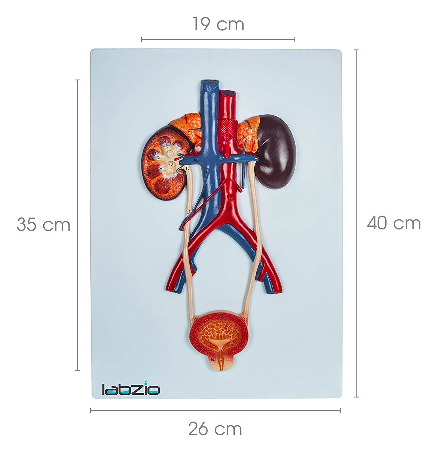 LABZIO by EISCO - Anatomical Urinary System 3D Relief Model