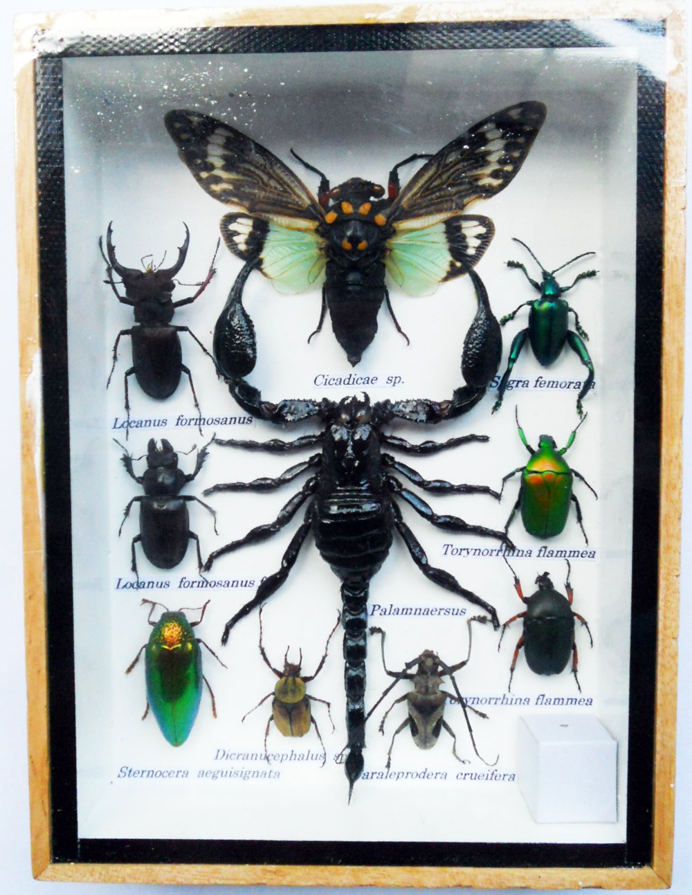B00AN76RVG REAL MIXS VERY RARE INSECT TAXIDERMY SET IN BOXES DISPLAY FOR COLLECTIBLES 71nzAQrSEmL
