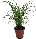 "Citronella Grass Plant - ഇഞ്ചിപ്പുല്ല് - Cymbopogon - Repels Mosquitos - 4"" Pot"