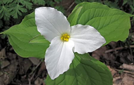 Amazon Com 20 Seeds Of Trillium Grandiflorum Large Flowered