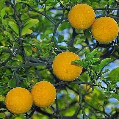 HOTUEEN Organic Citrus Fruit Delicious Garden Orange Tree Seeds Fruits : Garden & Outdoor