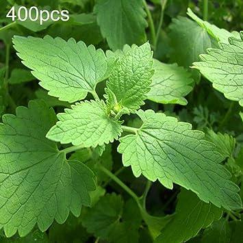 D-SYANA8 400 PCS Semillas de Menta de Gato piperita Semillas Aromáticas Hierba Planta Bonsai Decoración para Balcón Jardín Casa Nepeta Cataria Seeds: Amazon.es: Deportes y aire libre