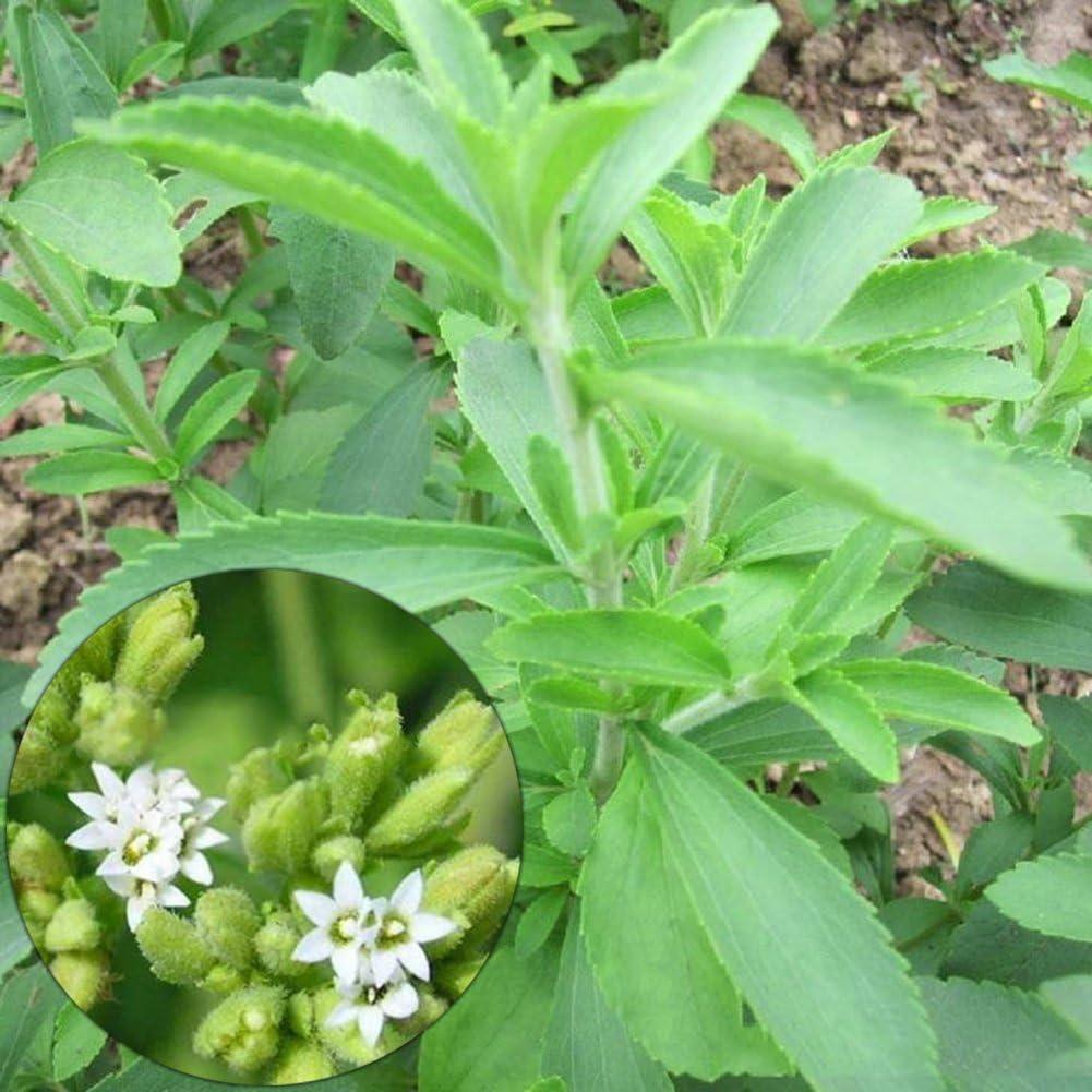 lamta1k 50Pcs Stevia Rebaudiana Sweetleaf Nature Flor de sustituto de azúcar Calidad Vegetal y Alta tasa de Supervivencia Semillas - Stevia Rebaudiana Seeds