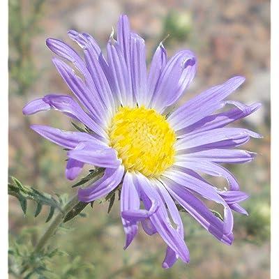 Machaeranthera Tanacetifolia 'Tahoka Daisy' 100 Seeds : Garden & Outdoor
