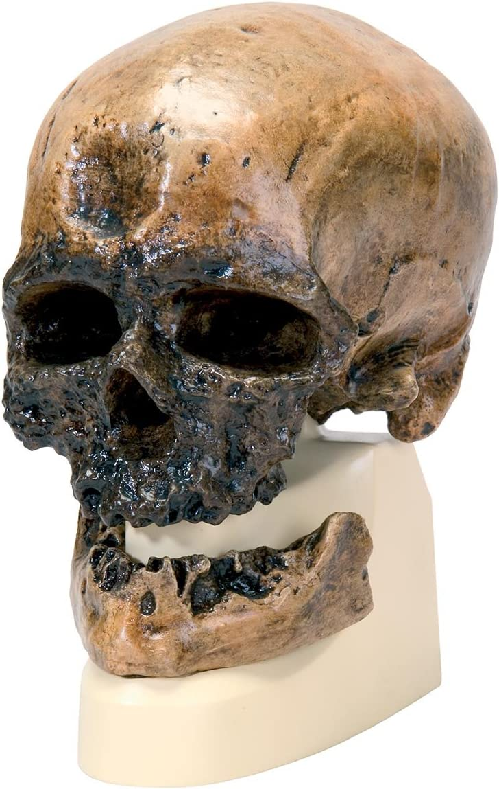 """3B Scientific VP752/1 Crô-Magnon Anthropological Skull Model, 8.5"""" x 5.9"""" x 9.6"""""""
