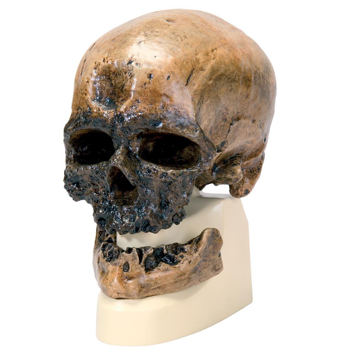 3B Scientific VP752/1 Replica di Cranio Homo Sapiens