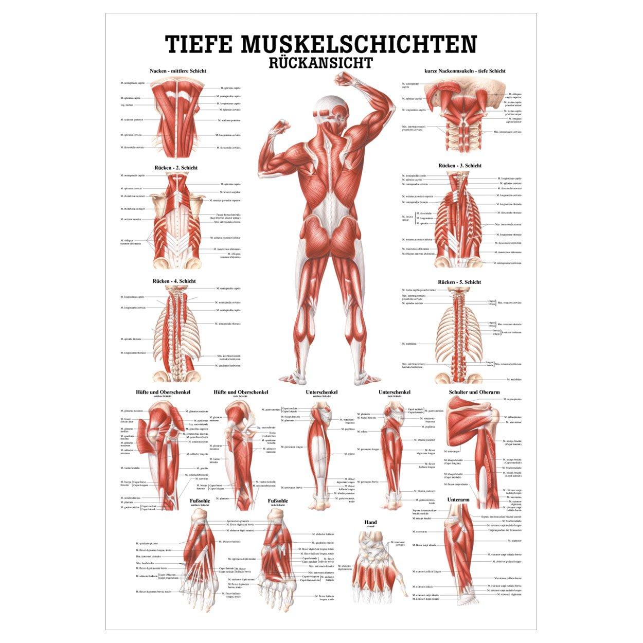Tiefe Muskelschichten-Rücken Lehrtafel Anatomie 100x70cm ...