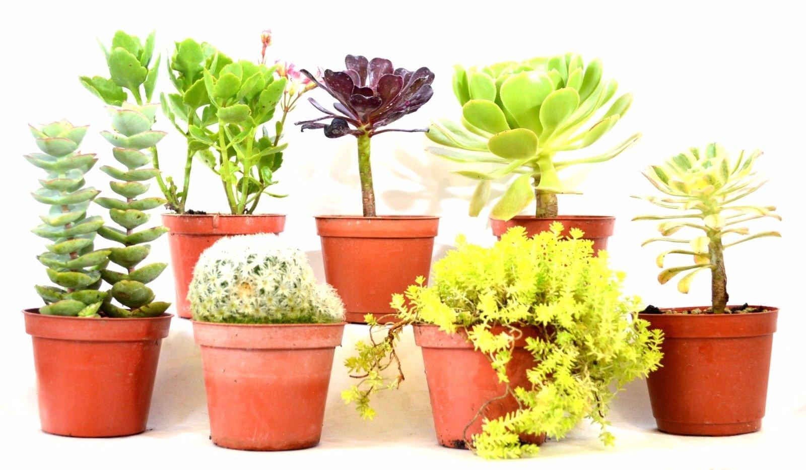 Live 7 Set Mixed Succulents Desert 2'' Pot Garden Plant