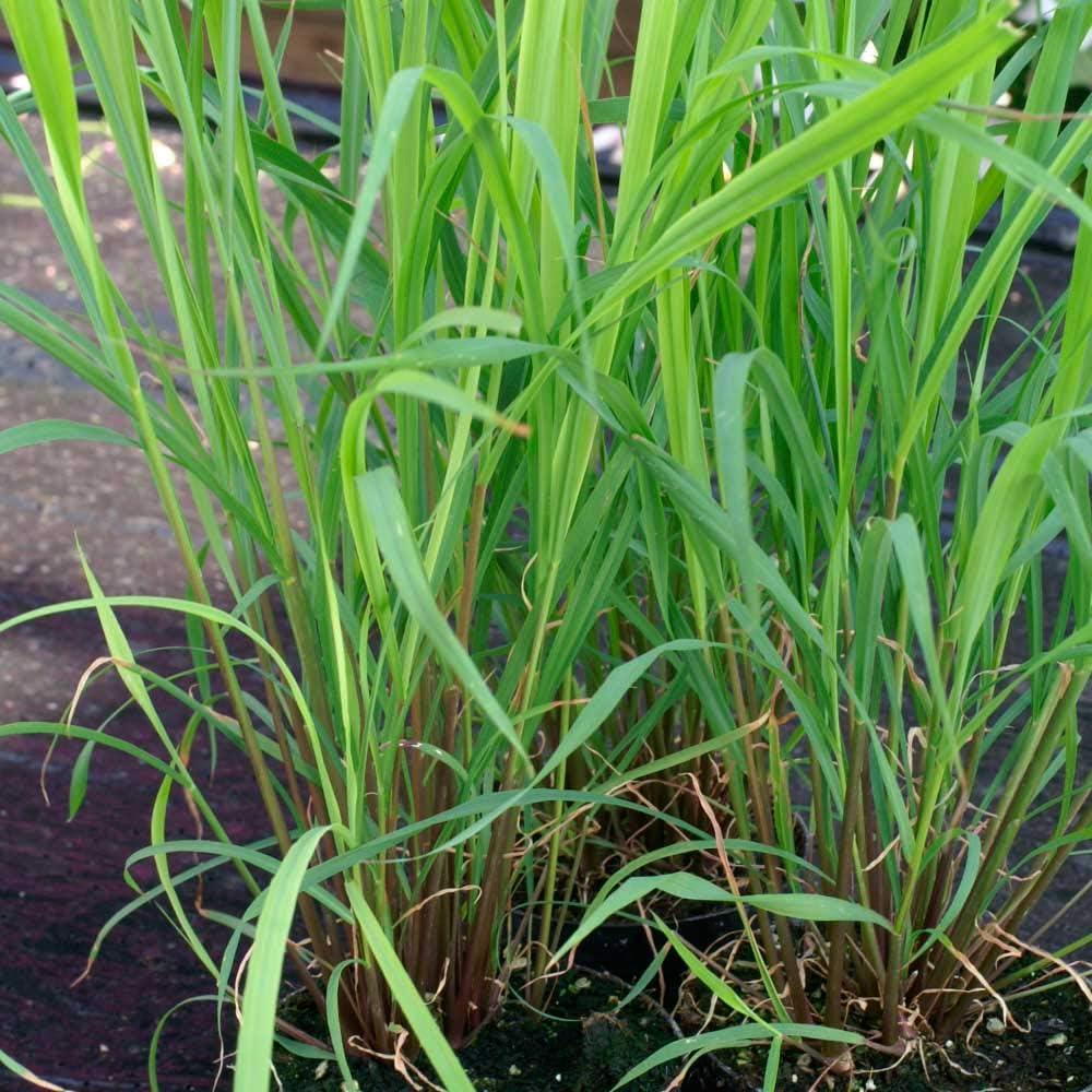 Amazon.com : Herb Seeds - Lemon Grass - 125 Seeds : Garden & Outdoor