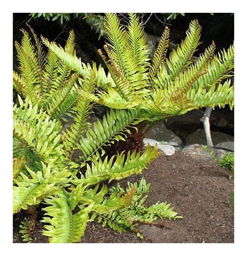 Blechnum tabulare - mountain Blechnum - 50 seeds Exotic Plants