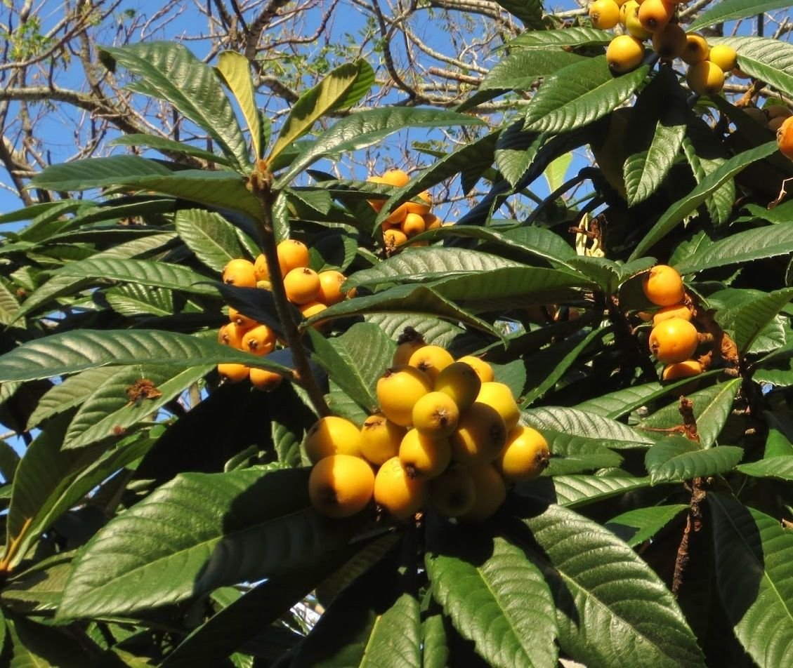 Live Loquat Fruit Tree, Japanese plum, Eriobotrya japonica STARTER PLANT by rianiq07