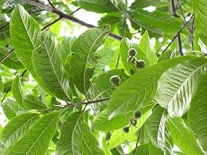 Raj Garden Plants Rudraksh Live Plant ,????????? ,Live Plant, Elaeocarpus Ganitrus