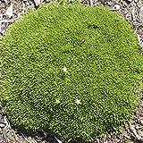 Arenaria Wallowa Mountains, Mossy Sandwort for Miniature Garden, Fairy Garden