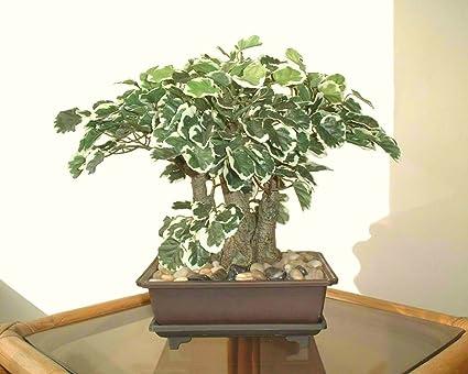 Polyscia bonsai cm albero artificiale senza vaso amazon