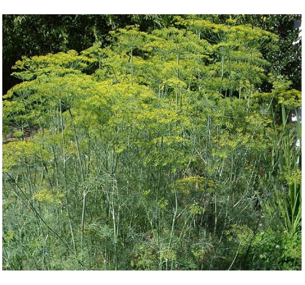 HERB - Dill - Mammoth - 1500 Seeds (Organic/BIO) - ANETHUM GRAVEOLENS
