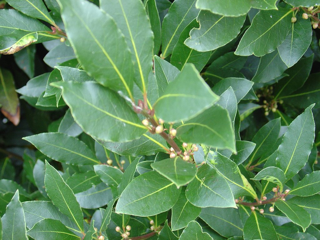 Bay Tree Laurus nobilis culinary herb plant aromatic leaves evergreen garden shrub 1 litre pot FREE DELIVERY