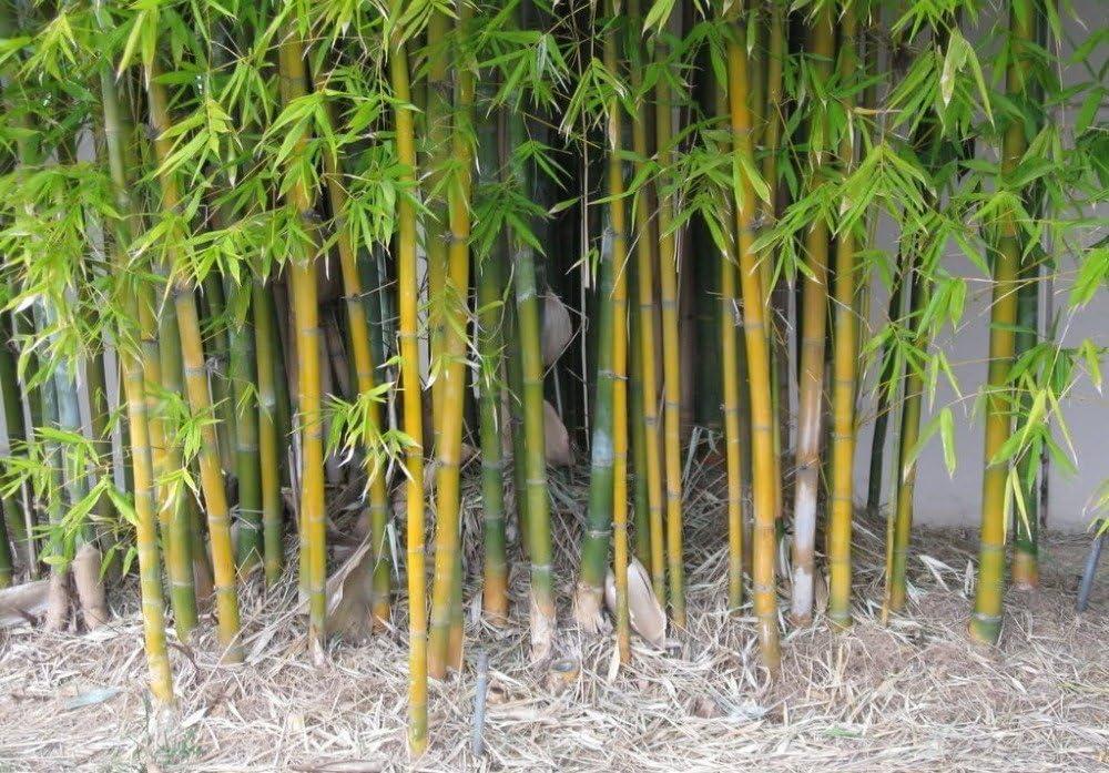 Bambusa oldhamii usine de d/écoration de jardin 100pcs B50 Bonsai imber Graines de bambou avec des instructions