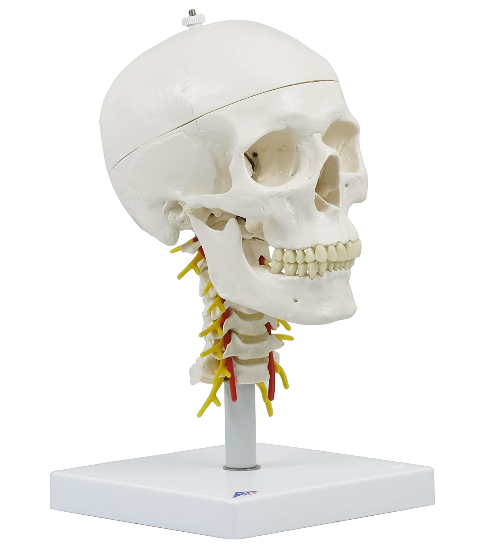 頭蓋,頚椎付,4分解モデル   B006YWWMTA