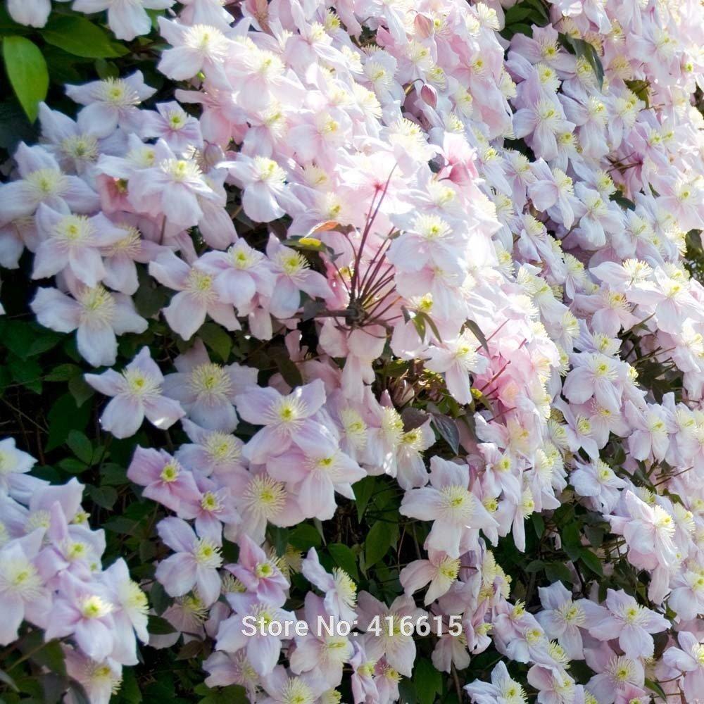 Amazon Clematis Seeds Clematis Montana Mayleen Seeds Pink Vine