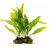 SubstrateSource Microsorum Pteropus Large Java Fern Mat Live Aquarium Plant