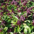 Siam Queen Thai Basil Seeds (Ocimum basilicum) 30+ Rare Heirloom Herb Seeds in FROZEN SEED CAPSULES for the Gardener & Rare Seeds Collector - Plant Seeds Now or Save Seeds for Years
