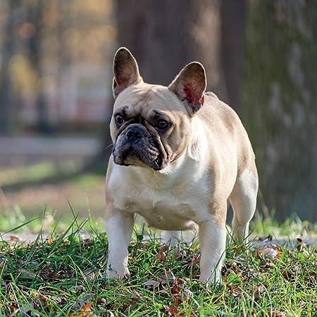 con spazio per compleanni e note 16 mesi motivo: Bulldog francesi The Gifted Stationery 2021 Calendario mensile da parete 30,5 x 30,5 cm