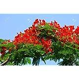 Flammenbaum/Bienenfreundlich/10 Samen/Seltene rote Prachtblüte/exotische Pflanze