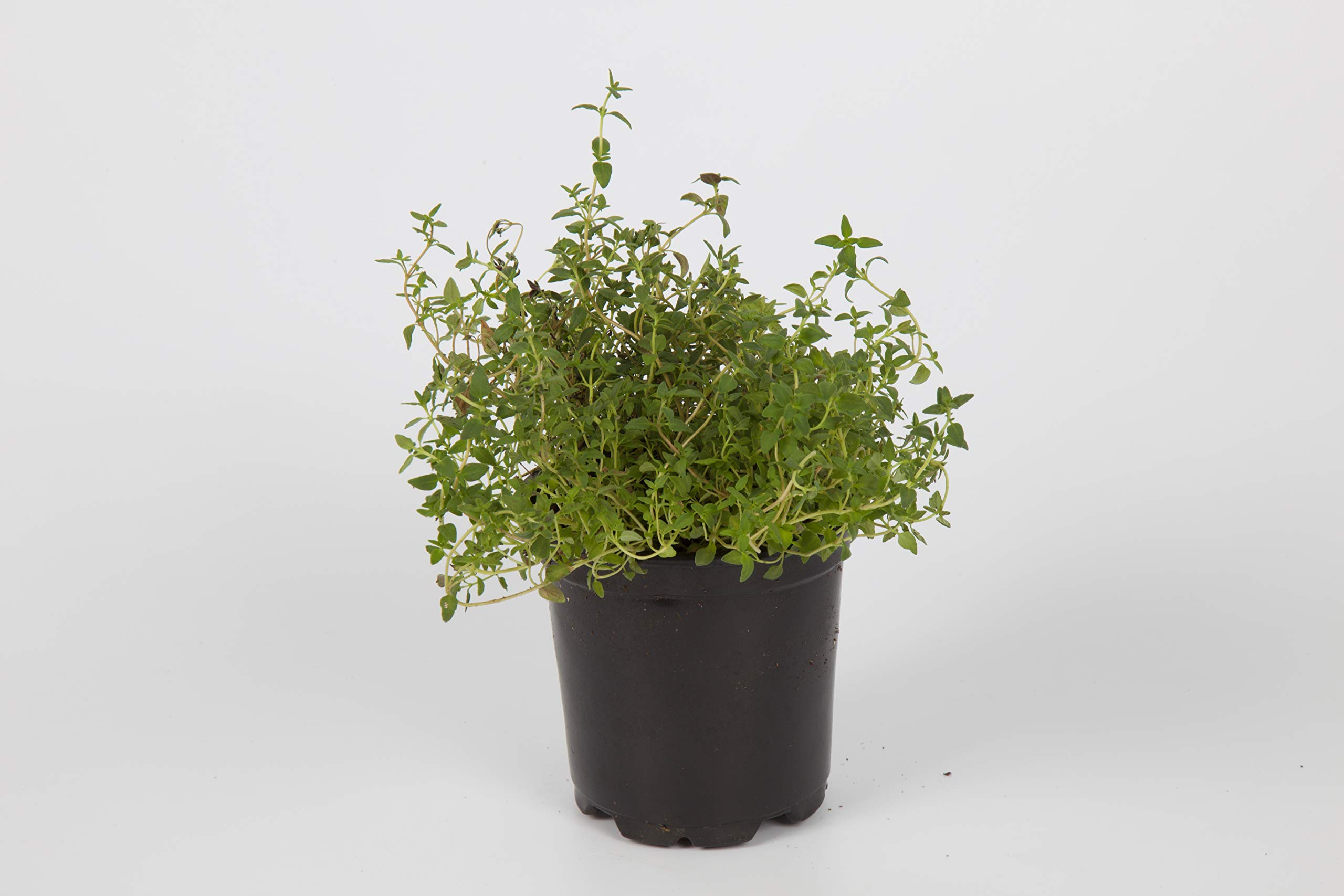 The Three Company Live Plant Aromatic Herb 4'' Thyme (4 Per Pack), Full & Healthy, Naturally Enhances Health