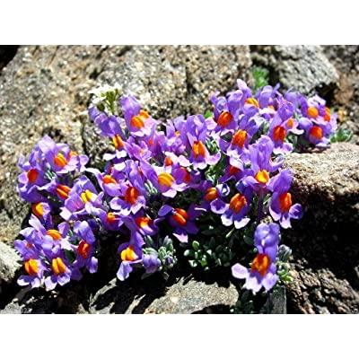 50 Linaria Alpina Seeds a.K.a Alpine Toadflax.low-growing ground cover plant : Garden & Outdoor