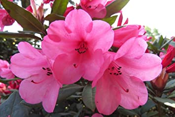 Amazon rhododendron winsome large five gallon plant rhododendron winsome large five gallon plant flowering shrub hot pink bell shaped blooms mightylinksfo