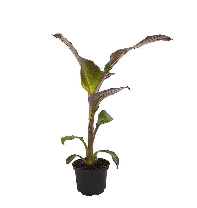 Dominik Blumen und Pflanzen, Rote Garten-Banane, Musa ensete ...