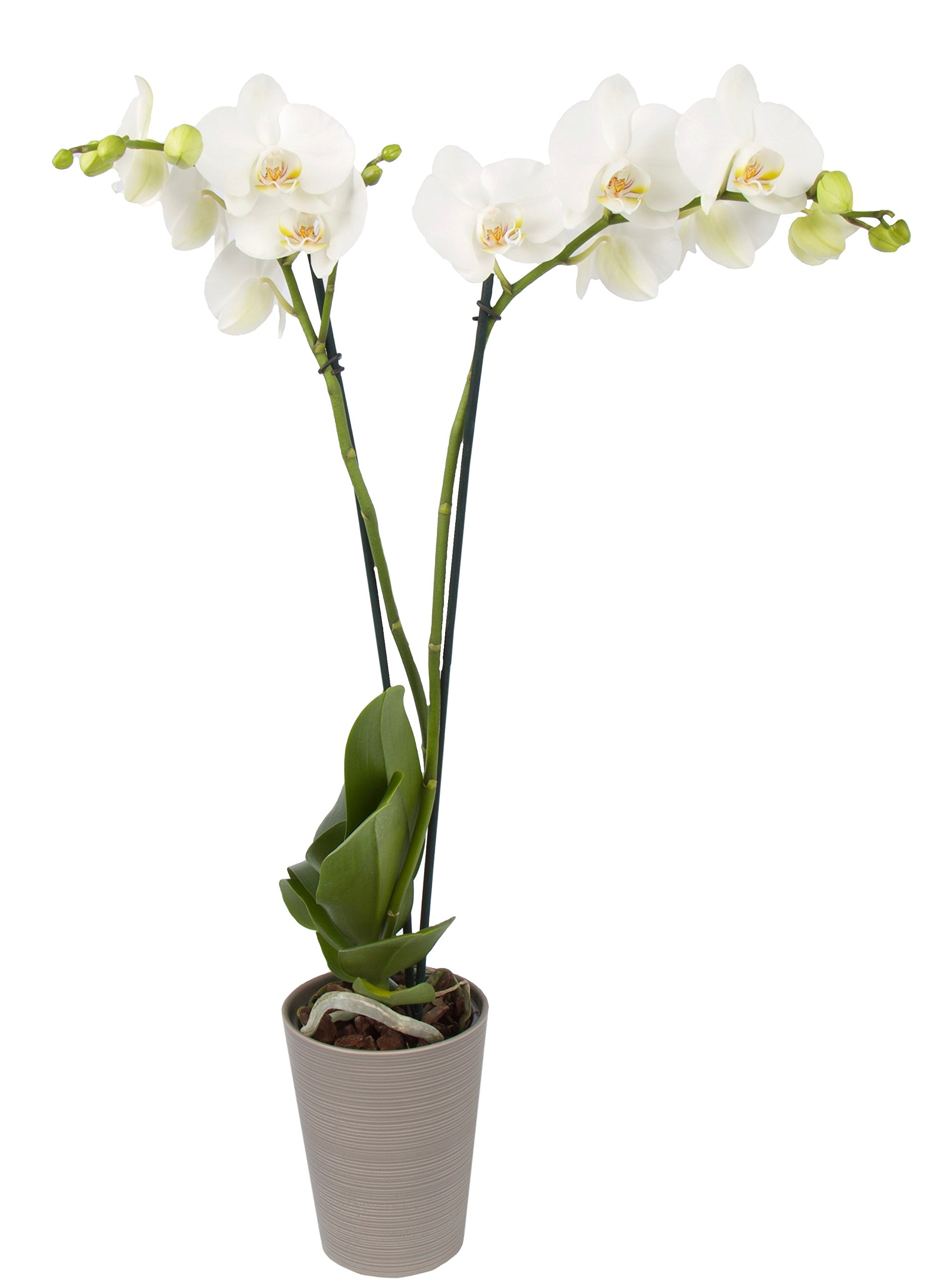 Color Orchids AMZ1101DGY2W Live Blooming Double Stem Orchid Plant in Ceramic Pot, 20''-24'' Tall, White Blooms
