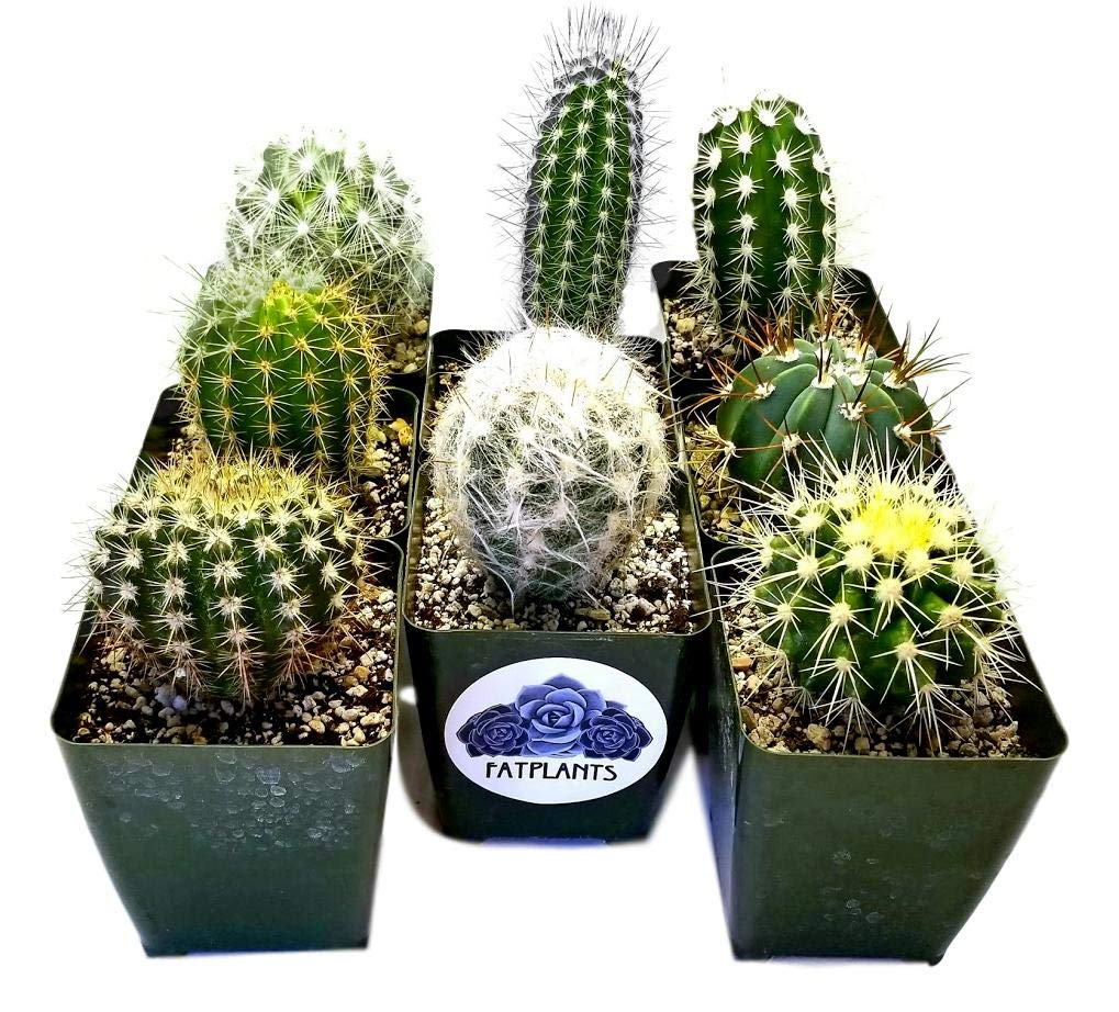 Fat Plants San Diego Large Cactus Plant(s) (2) by Fat Plants San Diego (Image #1)