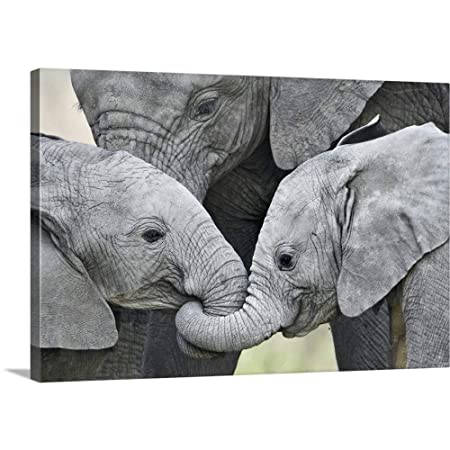 African Elephant Calves Loxodonta africana Holding Trunks, Tanzania Canvas Wall Art Print, 48.
