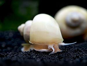 Aquatic Arts 1 Live Ivory Mystery Snail | Freshwater Aquarium Control / Glass Clearer | Safe in Tetra / Guppy / Betta Fish Tanks | Tank Decor