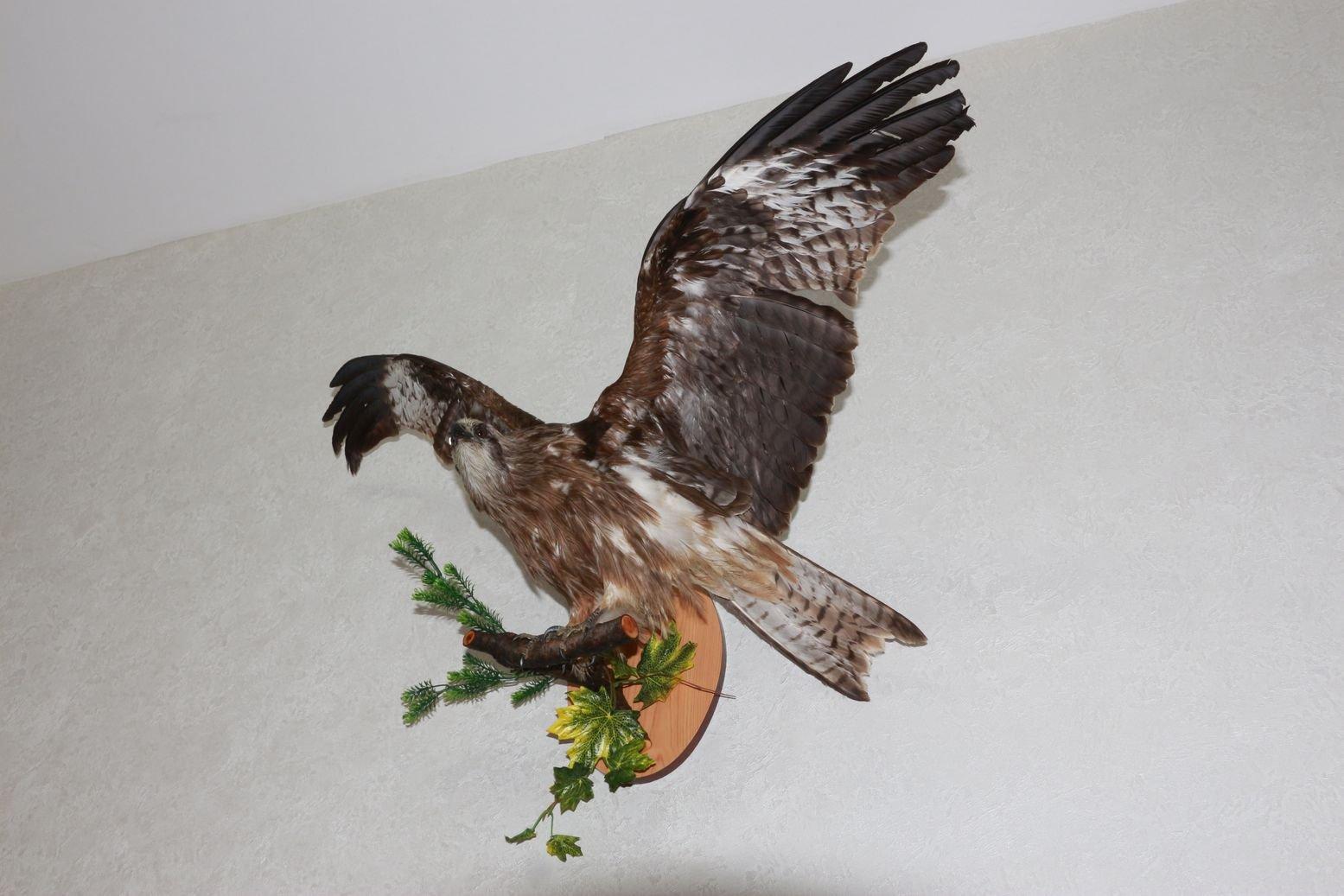 Birds For Sale >> Black Kite Taxidermy Bird Mount Stuffed Bird For Sale Hawk
