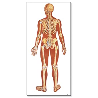 3b scientific v2002m the human skeleton anatomical chart with wooden 3b scientific v2002m the human skeleton anatomical chart with wooden rods rear view oversize ccuart