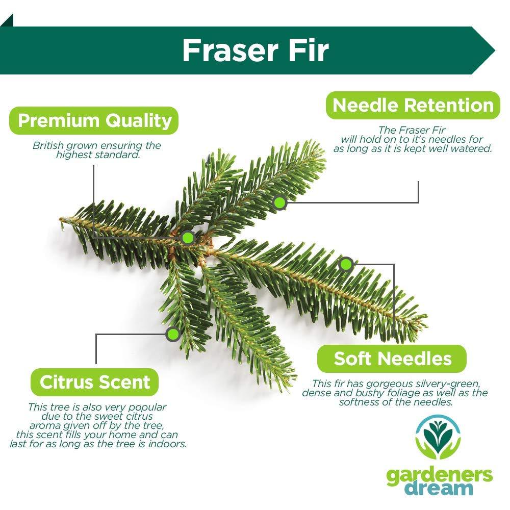 3e792190af942 GardenersDream Fraser Fir Fresh Cut Christmas Tree - Real Live Fresh  Seasonal Xmas Tree (4ft