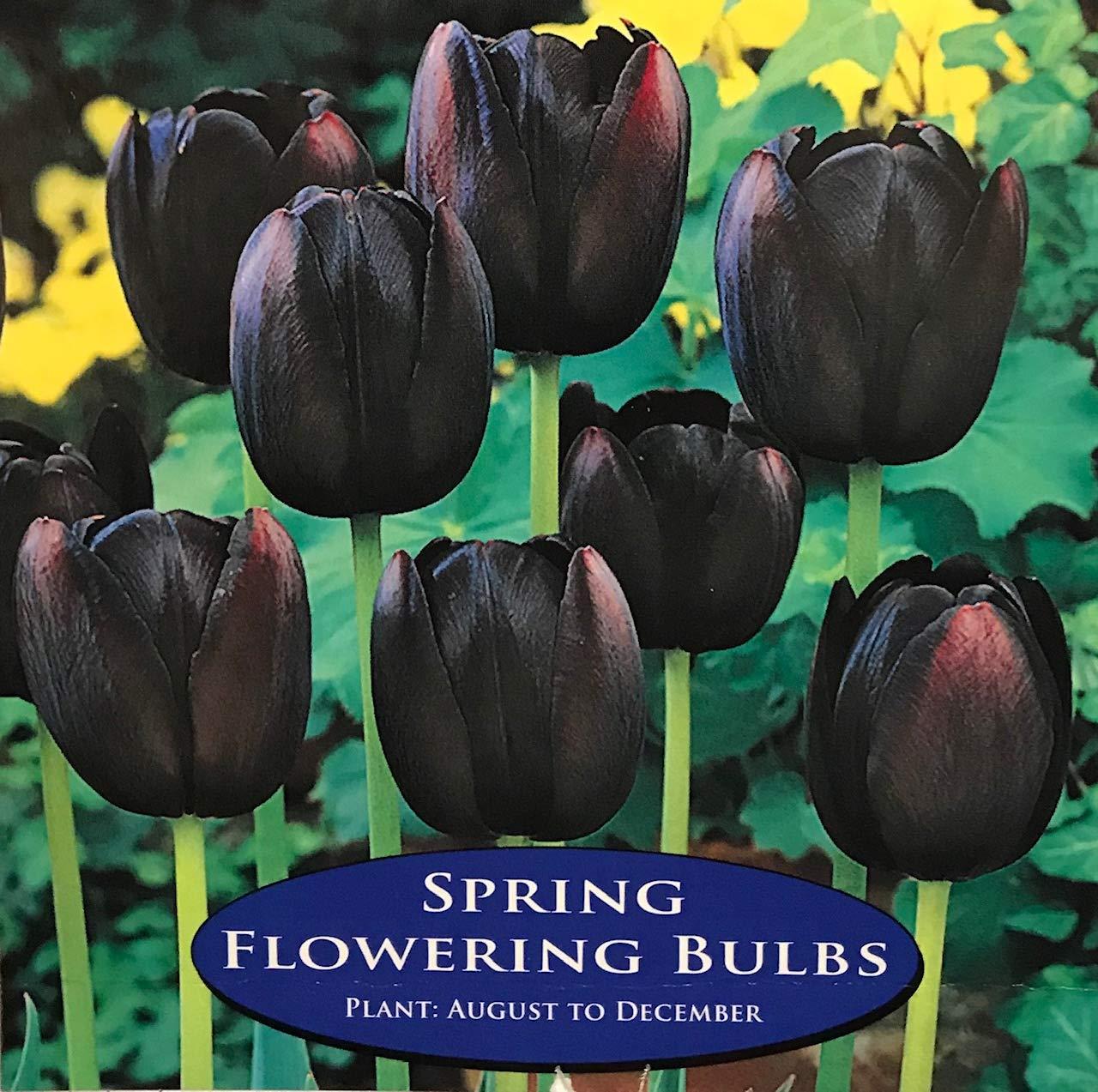 JBA Tulip Bulbs Queen of the Night (30 Bulbs) Spring Flowering