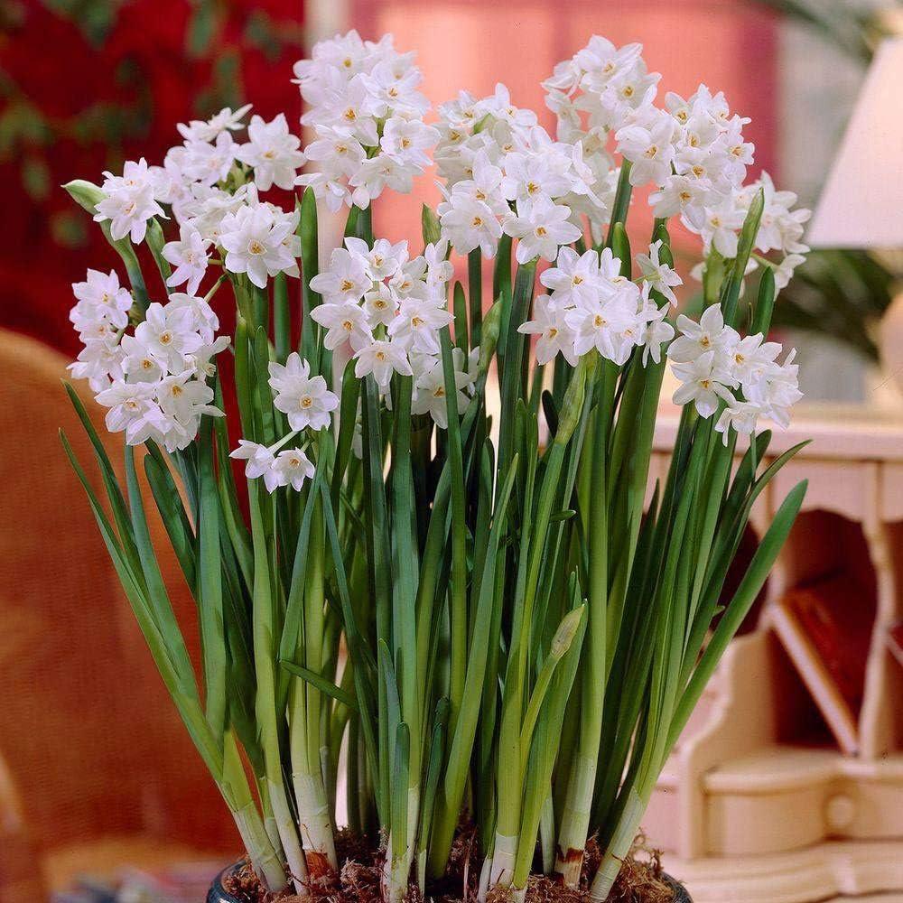 Ziva Paperwhite Flower Bulbs - 10 Bulbs - Large 15/+ cm Size - Paperwhite Narcissi