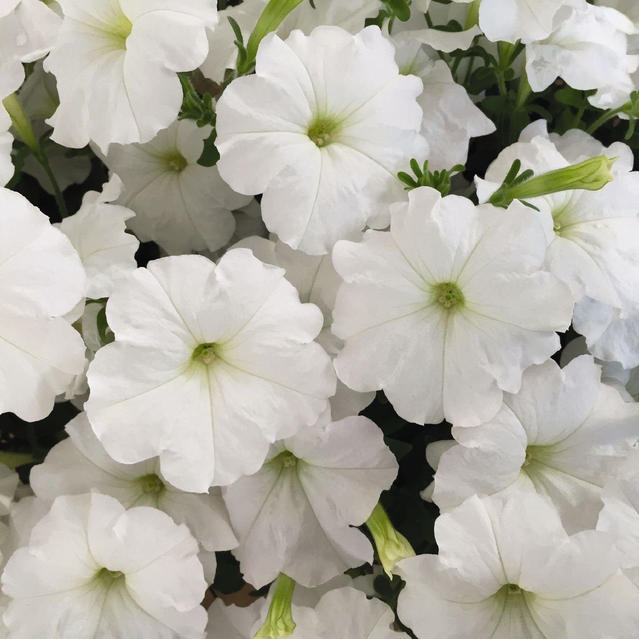 Amazon 100 Pelleted Seeds Trilogy White Pelleted Petunia Flower