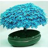 Floral Treasure Blue Maple Tree Seeds (Bonsai Suitable)