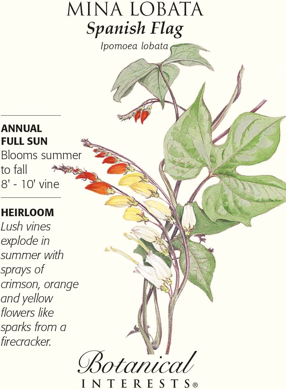 Mina Lobata Spanish Flag 20 Seeds Botanical Interests