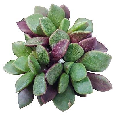 Succulent Details About Anacampseros Telephiastrum Succulent (4'') : Garden & Outdoor