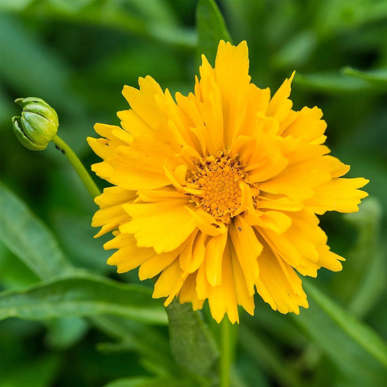 Presto Coreopsis Flower Seeds - 100 Seeds - Perennial Flower Garden Seeds - Coreopsis grandiflora