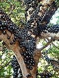 M-Tech Gardens Plinia cauliflora (Jabuticaba) Brazilian Grape-Tree 1 Healthy Live Plant (MTECH-05)