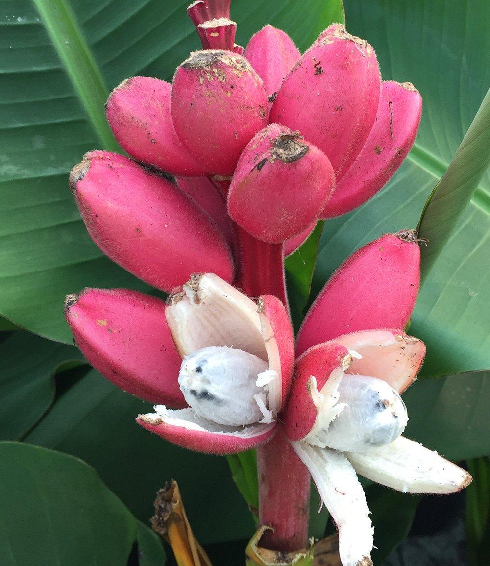 50 St/ück Banane Samen Banane Baum Samen exotische Pflanzen Obst Frucht Samen mehrj/ährig winterhart ertragreich f/ür Garten Balkon//Terrasse Ultrey Samenshop
